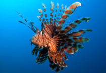 Pterois volitans © Atmosphere Philippibes